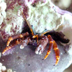Electric Orange Hermit Crab