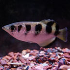 Brackish Archer Fish