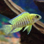 Yellow Peacock Cichlid