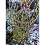 Rusty Gorgonian Sea Fan