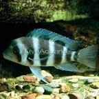 Frontosa Cichlid