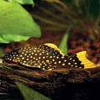 Gold Nugget Pleco (L-18)