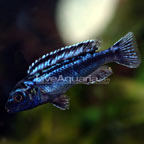 Blue Johanni Cichlid