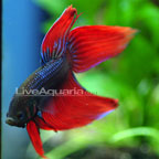 Siamese Fighting Fish: Betta - Male