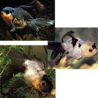 Panda Oranda Goldfish