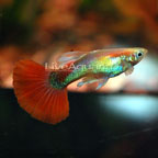 Red Fire Guppy (Pair)