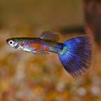 Purple Delta Guppy, Male