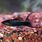 Black Lyretail Molly