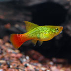 Topsail Platy