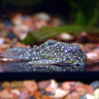 Pario-Ancistrus (L-048) Plecostomus