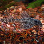 Gypsy King Tiger Pleco (L-66)