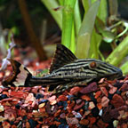 Gold Royal  (L-027) Plecostomus