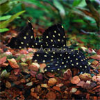 Pseudoacanthicus Angelicus Pleco (L-282)