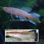 Blue Gularis Killifish
