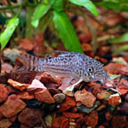 False Julii Cory Cat