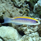 Sunrise Dottyback - Captive-Bred