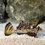 Orange and Black Dragonet