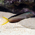 Harptail Blenny