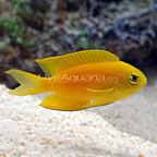 Canary Deep Water Damsel