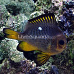 Golden Domino Damselfish
