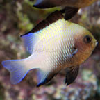 Marginated Damselfish
