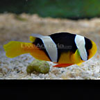 True Sebae Clownfish - Captive-Bred