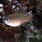 Longspine Cardinalfish