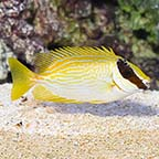 Decorated Rabbitfish