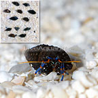 Dwarf Blue Leg Hermit (Build Your Own Kit) 12 Pack - Tiny