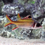 Sammara Squirrelfish