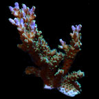 ORA® Aquacultured Purple Nana Acropora Coral