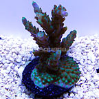Purple Nana Acropora Coral, Aquacultured ORA®