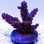 Plum Crazy Acropora Coral, Aquacultured ORA&reg