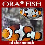 Picasso Clownfish, Captive-Bred ORA®