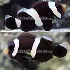 Black Saddleback Clownfish, Captive-Bred ORA®