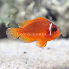 Fire Clownfish, Captive-Bred ORA®
