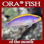 Sunrise Dottyback, Captive-Bred ORA®