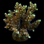Marshall Island Yellow Fuzzy Acropora Coral, Aquacultured ORA®