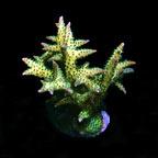 Ponape Birdsnest Coral, Aquacultured ORA®