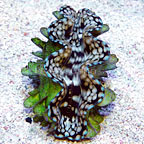 Squamosa Clam,  Aquacultured ORA®