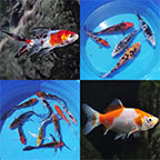 Koi and Pond Fish 12 Pack
