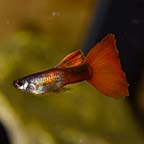 Red Chili Guppy, Male