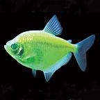 GloFish®, Electric Green® Tetra