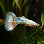 Guppies for Sale: Live Fancy Guppies with Many Guppy Fish Varieties Available