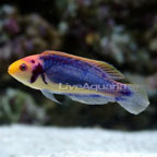 Wrasse Fish for Sale: Cleaner Wrasse and other Reef Safe Wrasse Species