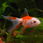 Fancy Goldfish for Sale: Live Fancy Goldfish for Aquariums or Ponds