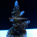 Aquacultured Corals: Exotic Reef Coral Aquacultured for the Aquarium