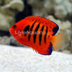 Dwarf Angelfish: Flame Angelfish and other Dwarf Angels