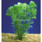 Background Freshwater Plants