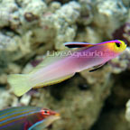 Dartfish Marine Fish